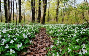 Spring Panoramic Landscape. Trillium line a forest trail as spring arrives to the Great Lakes Region. Trillium are the official wildflower of Ohio and Ontario. Lakeport, Michigan.